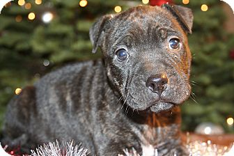 Pit Bull Terrier Puppy for adoption in HESPERIA, California - dash