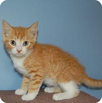 Domestic Shorthair Kitten for adoption in McDonough, Georgia - Ready!