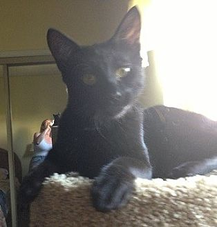 Oriental Cat for adoption in Burbank, California - INC