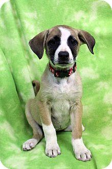 Labrador Retriever/Blue Heeler Mix Puppy for adoption in Westminster, Colorado - Curtin