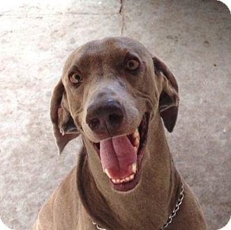 Weimaraner Dog for adoption in Sarasota, Florida - Jack