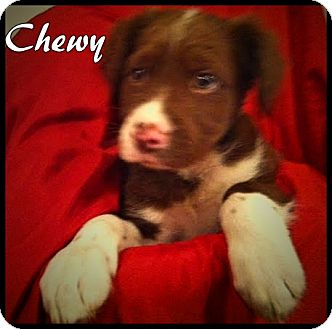 Springer Spaniel Mix Puppy for adoption in Ahoskie, North Carolina - Chewy