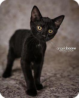 Domestic Shorthair Kitten for adoption in Plymouth, Minnesota - Skittles