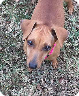 Dachshund Mix Puppy for adoption in KITTERY, Maine - MOLLY