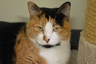 Domestic Shorthair Cat for adoption in House Springs, Missouri - Olivette