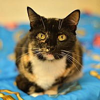Calico Cat for adoption in Beacon, New York - Gabby