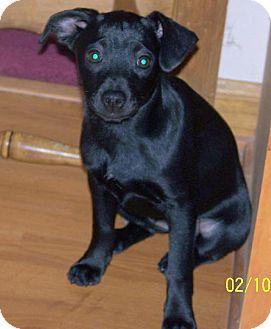 Chihuahua/Miniature Pinscher Mix Puppy for adoption in Waldron, Arkansas - Abby Alexander