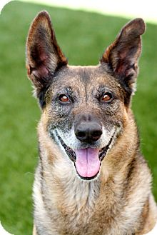 Dutch Shepherd Mix Dog for adoption in Coronado, California - Charlie