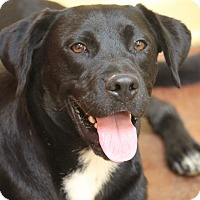Boxer/Labrador Retriever Mix Dog for adoption in Hooksett, New Hampshire - Quincy Park Boy **IN MAINE*