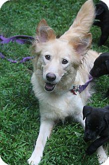 Golden Retriever/Belgian Tervuren Mix Dog for adoption in Bedford Hills, New York - Flower