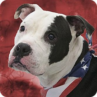 Staffordshire Bull Terrier Mix Dog for adoption in Cincinnati, Ohio - Ace
