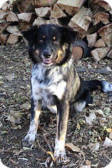 Australian Shepherd/Bernese Mountain Dog Mix Dog for adoption in Westminster, Colorado - HAROLD