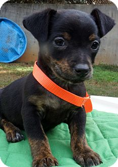 Chihuahua/Pug Mix Puppy for adoption in Newark, Delaware - Lucas