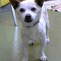 Chihuahua Dog for adoption in Seattle, Washington - Ottis Tanner