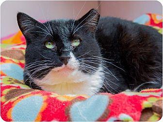 Domestic Shorthair Cat for adoption in Corinne, Utah - Max