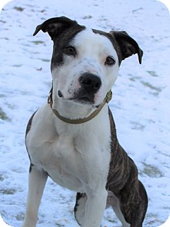 Pit Bull Terrier Mix Dog for adoption in Toledo, Ohio - Chevy