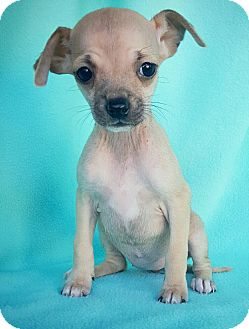 Chihuahua Mix Puppy for adoption in Fredericksburg, Texas - Cindy