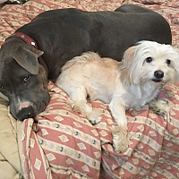 Great Dane/Pit Bull Terrier Mix Dog for adoption in Los Angeles, California - Rocky