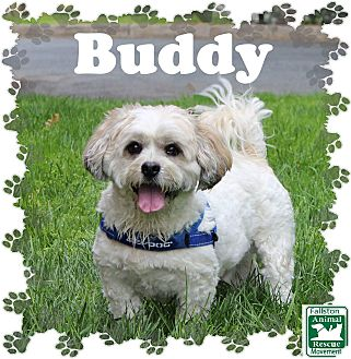 Lhasa Apso Mix Dog for adoption in Fallston, Maryland - Buddy