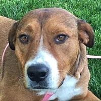Adopt A Pet :: Clover - Lexington, KY