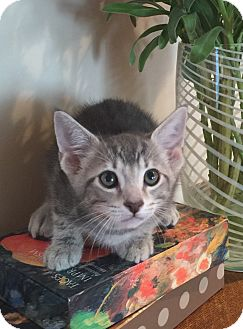 Domestic Shorthair Kitten for adoption in Mission Viejo, California - Saguaro