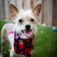 Yorkie, Yorkshire Terrier Mix Dog for adoption in Von Ormy, Texas - Tinkerbell