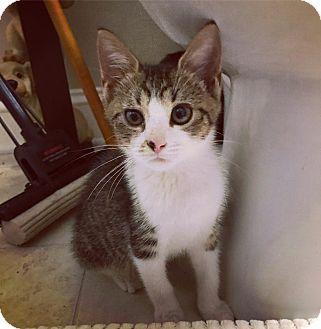 Domestic Shorthair Kitten for adoption in Nashville, Tennessee - Commander Cody