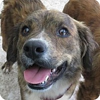 Adopt A Pet :: Angel! Easy Going! - St Petersburg, FL