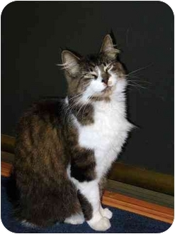 Maine Coon Cat for adoption in Putnam Hall, Florida - Precious Treylena