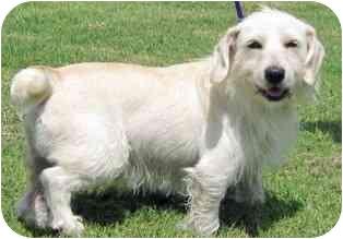 Westie, West Highland White Terrier Mix Dog for adoption in Osseo, Minnesota - Kaiser