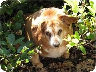 Dachshund/Corgi Mix Dog for adoption in Salem, Oregon - Slim Bob