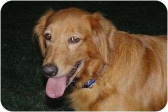 Golden Retriever Dog for adoption in Denver, Colorado - Yellow Rose
