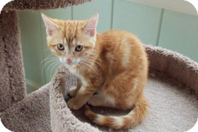 Domestic Shorthair Kitten for adoption in Catasauqua, Pennsylvania - Harvey