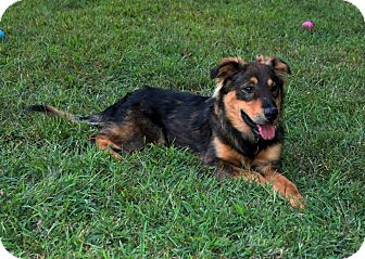 Australian Shepherd Mix Dog for adoption in West Milford, New Jersey - CHEVY