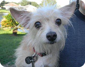 Chihuahua Mix Dog for adoption in Jacksonville, Florida - Lil Man