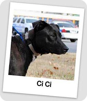 Labrador Retriever Mix Dog for adoption in North Little Rock, Arkansas - Ci Ci