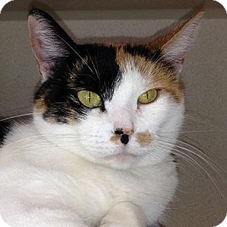 Domestic Shorthair Cat for adoption in Denver, Colorado - Sparkle