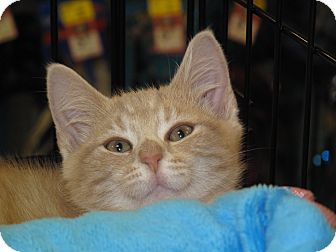 Domestic Shorthair Cat for adoption in Port Republic, Maryland - Oliver