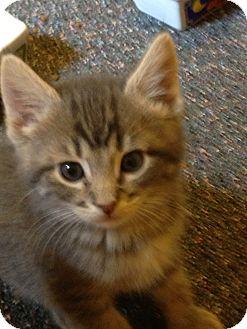 Domestic Shorthair Kitten for adoption in Richfield, Ohio - Bottle Fed Girl Babies