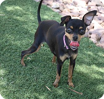 Miniature Pinscher/Chihuahua Mix Dog for adoption in Henderson, Nevada - Roxy