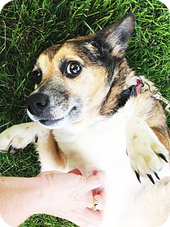 Chihuahua/Corgi Mix Dog for adoption in Hillsboro, Illinois - Lucy Lou