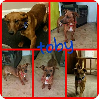 Dachshund Dog for adoption in Gainesville, Georgia - toby