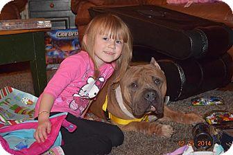 Pit Bull Terrier Mix Dog for adoption in Villa Park, Illinois - Gambler