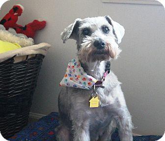 Miniature Schnauzer Dog for adoption in Sharonville, Ohio - Gracie