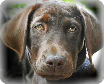 Labrador Retriever Puppy for adoption in Red Lion, Pennsylvania - Hadley ON MEDICAL HOLD