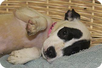 Terrier (Unknown Type, Medium)/Collie Mix Puppy for adoption in Waldorf, Maryland - Greta