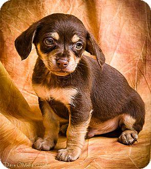 Chihuahua Puppy for adoption in Anna, Illinois - TARO