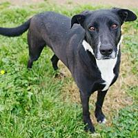 Border Collie/Labrador Retriever Mix Dog for adoption in Iola, Texas - Malcolm