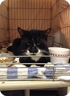 Domestic Shorthair Cat for adoption in Acushnet, Massachusetts - Dylan