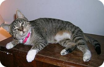 Domestic Shorthair Cat for adoption in Libertyville, Illinois - Mollie